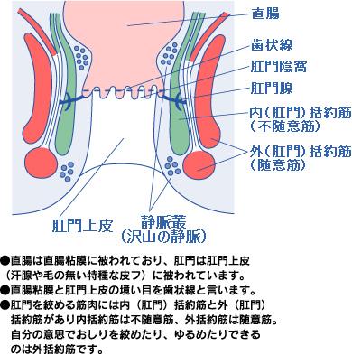 肛門の解剖図